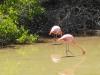Flamingos on Isabela Island