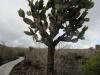 Opuntia cactus tree