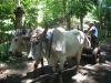 Fidel\'s Oxen (see video)